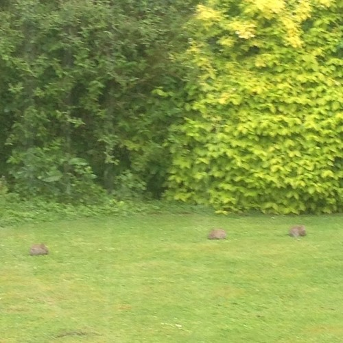 The sweetest bunnies in our garden! Hope they don't eat my plants!