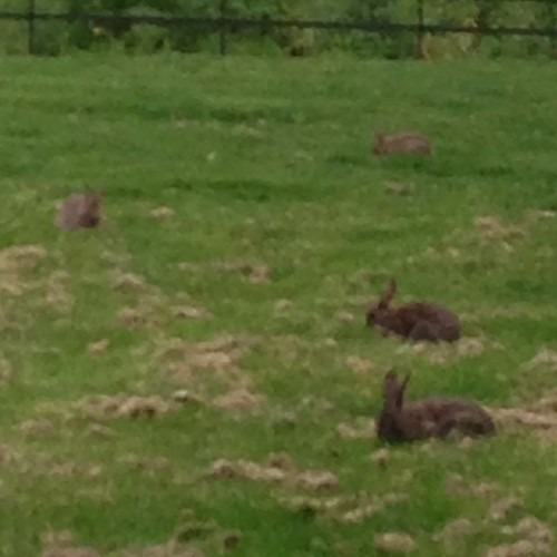 There are so many bunnies in Hyde Park! After a hard day's writing walking round the park is a great antidote!